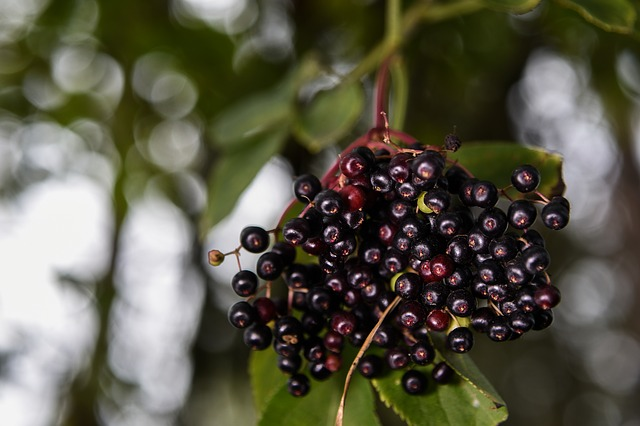 czarny bez owoce
